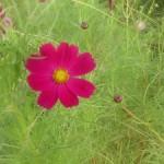 三田補聴器コスモスとコスモスの花
